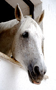 White Horses Photo Prints - White horse Print by Maurizio Incurvati