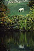Grazing Horse Posters - White Horse Reflected in Autumn Pond Poster by Anna Lisa Yoder