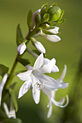 Perennials Posters - White Hosta Flower Poster by Christina Rollo