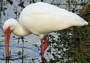Feeding Birds Prints - White Ibis Print by Adam Jewell