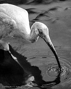 Christopher Holmes Photo Prints - White Ibis - BW Print by Christopher Holmes