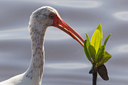 Birding Photo Prints - White Ibis Print by Caisues Photography