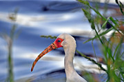 Al Powell Photography Usa Posters - White Ibis Close Up Poster by Al Powell Photography USA