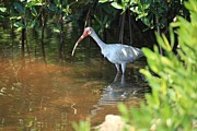 Jn Ding Darling National Wildlife Refuge Framed Prints - White Ibis Framed Print by Doug McPherson