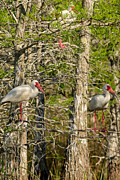 Natural Focal Point Photography - White Ibis Forest