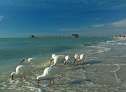 Blue Photographs Posters - White Ibis near Historic Naples Pier Poster by Juergen Roth