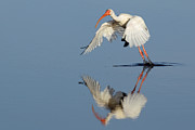 Richard Mann - White Ibis on takeoff