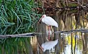 Scott Pellegrin - White Ibis
