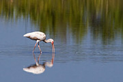 Florida House Photos - White Ibis by Stephanie McDowell