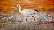 Ibis Posters - White Ibis Stroll Poster by East Coast Barrier Islands Betsy A Cutler