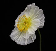 Carol Welsh - White Iceland Poppy 2