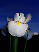 Flowery Framed Prints - White Iris Framed Print by Alessandro Della Pietra
