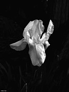 Moonglow Prints - White Iris in the Moonlight Print by Barbara St Jean
