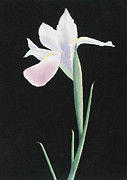 Watercolor Paintings - White Iris by Jean Yates