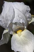 White Iris Print by Joy Watson