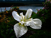 Rhizome Prints - White Iris Print by Robert Bales
