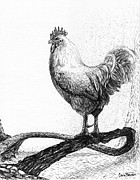 Chicken Drawings - White King by Cara Bevan