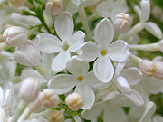 Floral Photos Photos - White Lilac by Juergen Roth