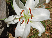 White Lily Print by Aimee L Maher