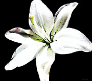 Sharon Cummings - White Lily by Sharon...