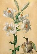 Floral Arrangement Paintings - White Lily by Carl Franz Gruber