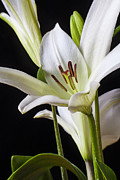 Whites Posters - White Lily Poster by Garry Gay