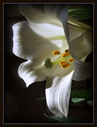 Kkphoto1 Posters - White Lily Poster by Kay Novy