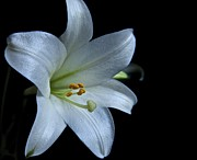 Lori Miller - White Lily on Black