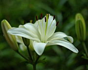 Indiana Art Photo Posters - White Lily Poster by Sandy Keeton