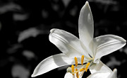 Vlad Baciu Art - White lily with yellow stamens against dark background by Vlad Baciu
