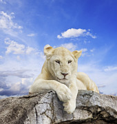 Amazing Sunset Photo Prints - White lion Print by Anek Suwannaphoom