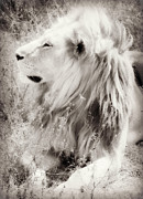 Photo Manipulation Photo Framed Prints - White Lion Framed Print by Chris Scroggins