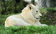 Elaine Manley - White Lion ..male