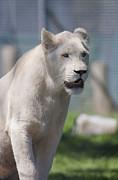 Steven Ralser - White lion