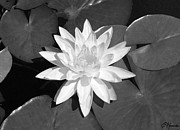 Black-and-white Painting Prints - White Lotus 2 Print by Ellen Henneke