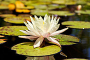 Lotus Flower Posters - White Lotus Flower in Lily Pond Poster by Susan  Schmitz