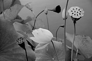 Julia Hiebaum Metal Prints - White Lotus Flowers in Balboa Park San Diego Metal Print by Julia Hiebaum