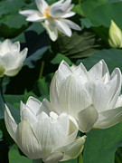 Lotus Full Bloom Prints - White Lotus Print by Larry Knipfing