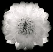 Flower Gardens Photos - White Magic by Karen Wiles
