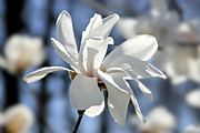 Backlit Metal Prints - White Magnolia  Metal Print by Elena Elisseeva