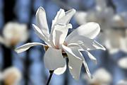 White Magnolia  Print by Elena Elisseeva