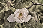 Dew Digital Art Prints - White Magnolia Print by Lois Bryan