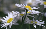 Marguerites Framed Prints - White Marguerite Framed Print by Heiko Koehrer-Wagner