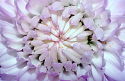 Rhythmic Prints - White Mauve Miniature Dahlia - Close up Print by Kaye Menner