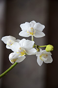 Phillip Segura - White Mini Orchid