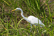 White Morph Prints - White  Morph Great Blue Heron Print by Carol Ailles