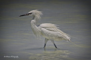 White Morph Prints - White morph Reddish Egret Print by Barbara Bowen