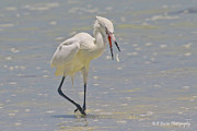 White Morph Prints - White morph Reddish Egret fish toss Print by Barbara Bowen