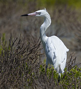 Morph Framed Prints - White Morph Redish Egret Framed Print by Doug Lloyd