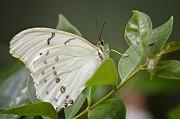 Saija  Lehtonen - White Morpho Butterfly